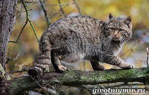 Lesná mačka