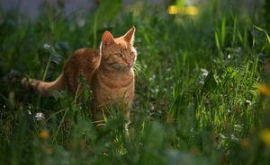 Spôsob života európskej divokej mačky