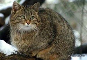 Životný štýl divokej mačky