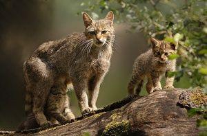 Životný štýl divokej európskej mačky