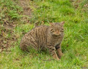 Habitat divokej európskej lesnej mačky