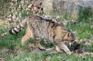 Lov divokej európskej mačky