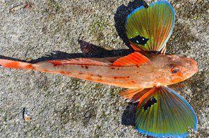 Lietajúci ryby trigla alebo morský kohút
