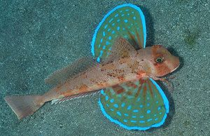 Lietajúci ryby trigla-sea cock