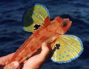 Trigla-sea cock