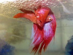 Veľmi zaujímavé druhy prasiatok (morský kohút)