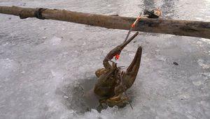 Kde žijú kraby a ako ich chytiť v zime