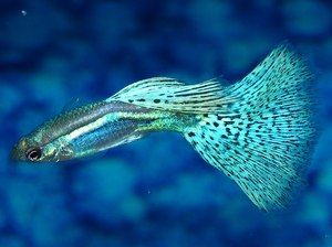 Ryby gupy