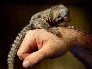 Najmenšia opica