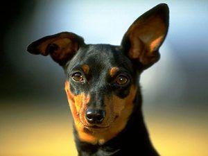 Metódy liečenia demodekcie u psov