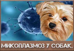 Mykoplazmóza u psov: príznaky a liečba