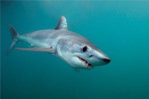 Rýchle predátor žralok-mako