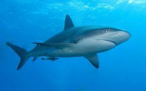 Žralok chrupavčitý