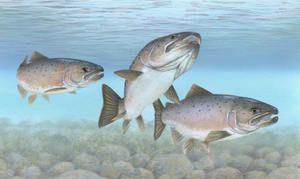 Losos - tri ryby