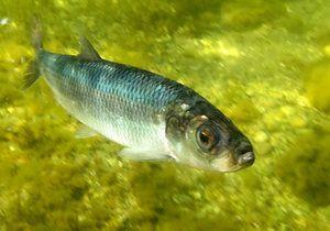 Baltský sleď - malé ryby