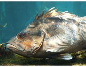 Morská vlna - hlbokomorské ryby