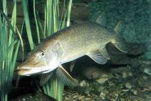 Pike v podstate žije v sladkej vode