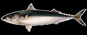 Makrela - štruktúra tela