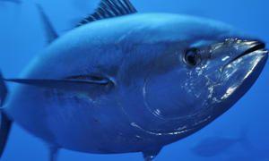 Veľkosť tuniakov