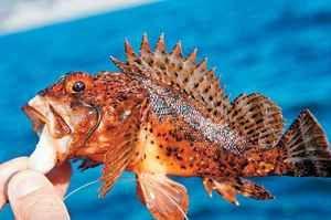 Morph ruff: vzhľad, chyta škorpióna v Čiernom mori