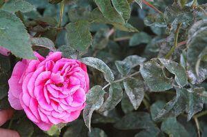 Choroby z ruží