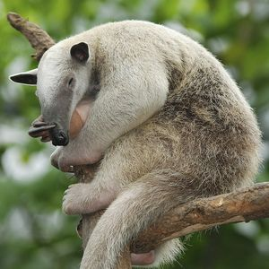 Jazyk anteateru