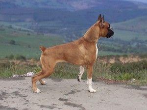 Nemecký boxer: úžasné plemeno psa