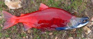 Nerka: čo je táto ryba a aké je jej použitie