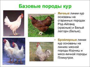 Najobľúbenejšie plemená kurčiat