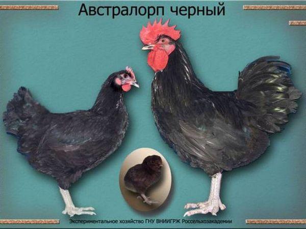 Ako podávať sliepky sliepky