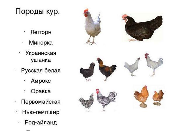 Ako si vybrať plemeno kura