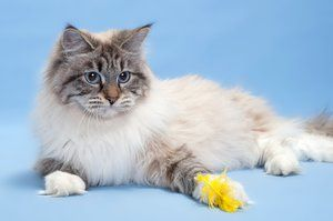 Neva Maškarná mačka: všetko o pleme a starostlivosť o ňu