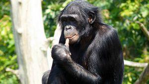 Ako udržať opice bonobo