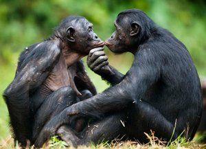 Aký druh bonobo opice