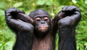 Opis opíc bonobo