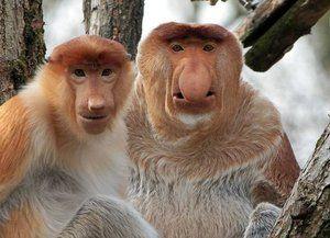 Nosachi - vzácny druh opíc