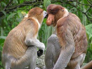 Ako sa opice šíria?