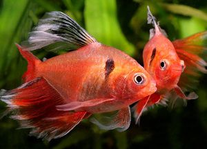 Obyvateľ sladkovodného akvária - malé ryby