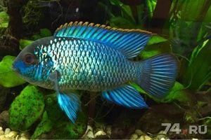 Opiátové ryby spoločnosti Nannakar