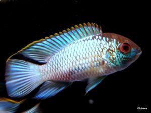 Ryby nannakar neon blu