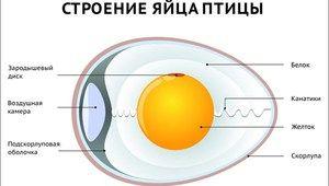 Opis a charakteristiky štruktúry vtáčích vajec
