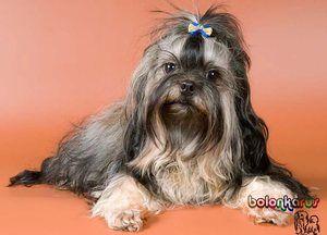 Popis plemena psov Ruský farebný lapdog