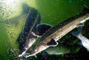 Popis rybieho štepu. Čo sa živí a ako sa chovajú?