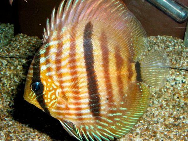 Druhy populárnych rýb pre domácu údržbu