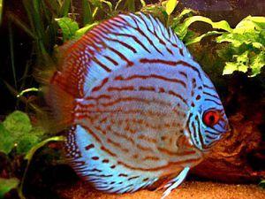 Ako si vybrať dekoratívne ryby pre akvárium?