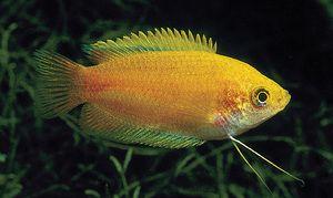 Akvarijné ryby Gurami Honey