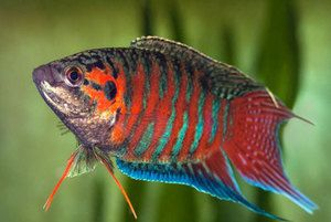 Akvarijné ryby Macropods