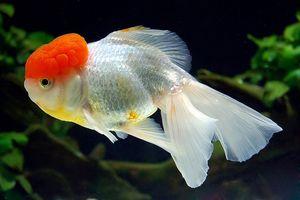 Akváriová ryba Oranda Červená čiapočka