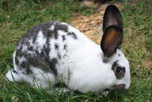 Opis plemien králikov
