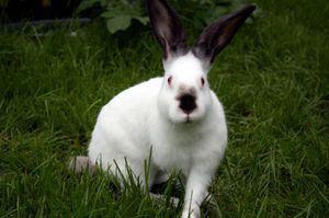 Kalifornia králik: popis
